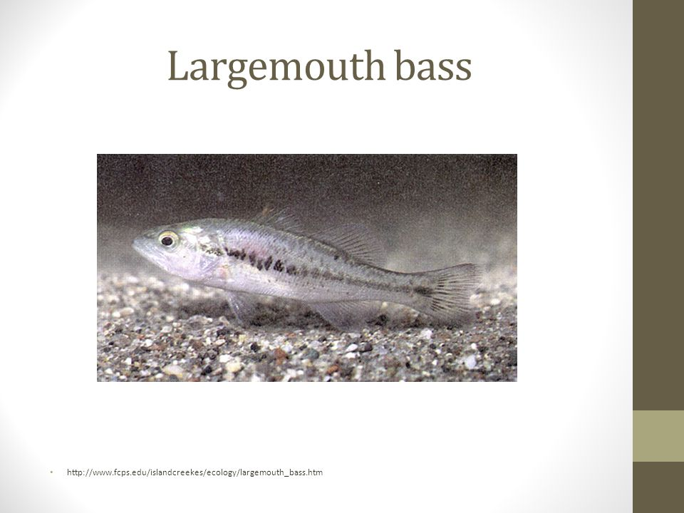 Largemouth bass http://www.fcps.edu/islandcreekes/ecology/largemouth_bass.htm