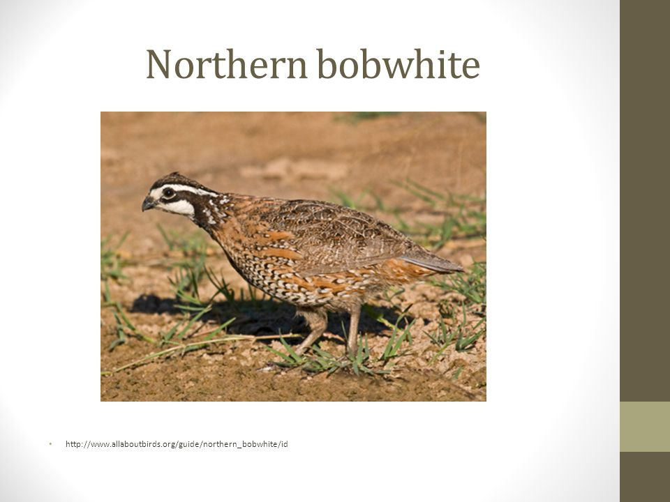Northern bobwhite http://www.allaboutbirds.org/guide/northern_bobwhite/id