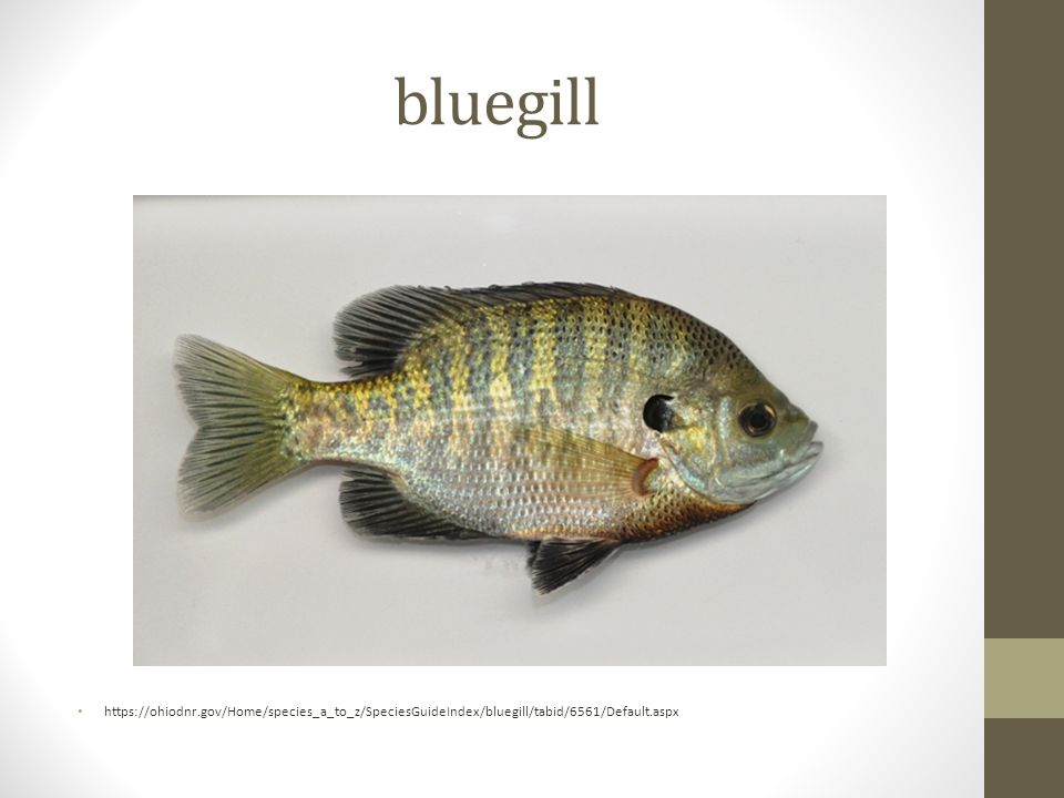 bluegill https://ohiodnr.gov/Home/species_a_to_z/SpeciesGuideIndex/bluegill/tabid/6561/Default.aspx