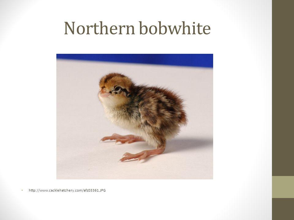 Northern bobwhite http://www.cacklehatchery.com/afz03361.JPG