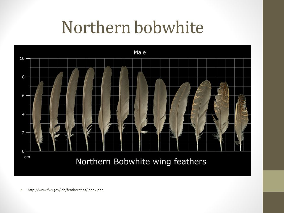 Northern bobwhite http://www.fws.gov/lab/featheratlas/index.php