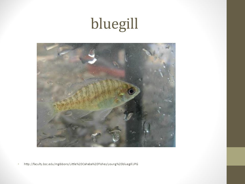 bluegill http://faculty.bsc.edu/mgibbons/Little%20Cahaba%20Fishes/young%20bluegill.JPG
