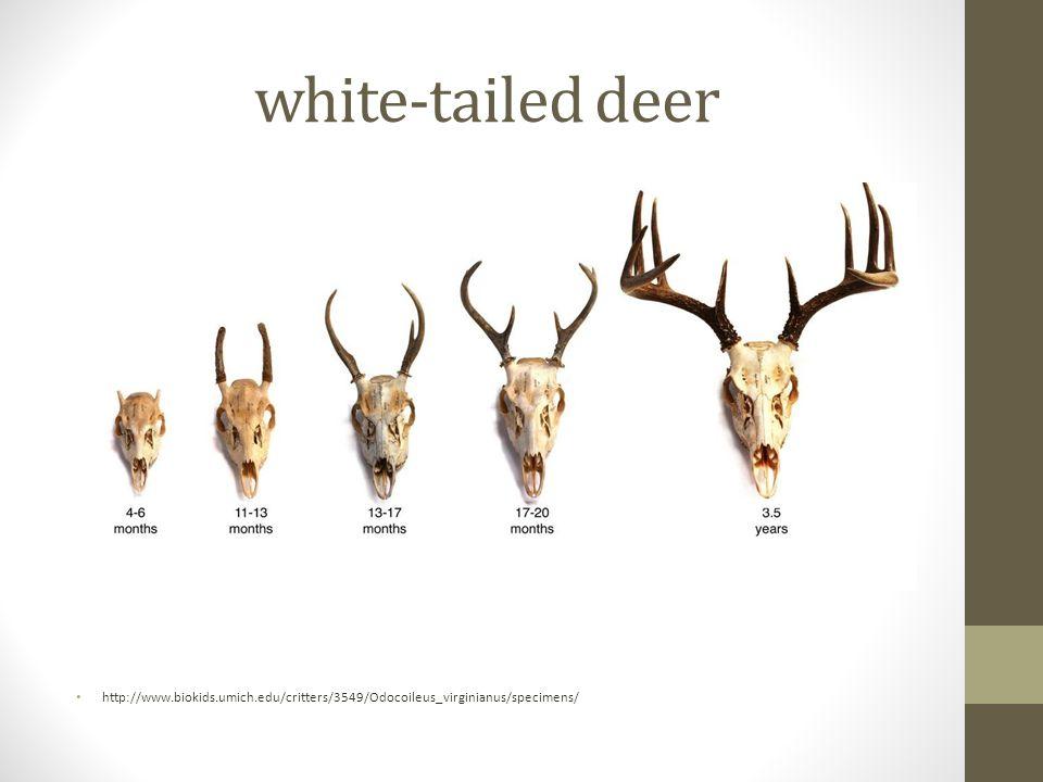white-tailed deer http://www.biokids.umich.edu/critters/3549/Odocoileus_virginianus/specimens/