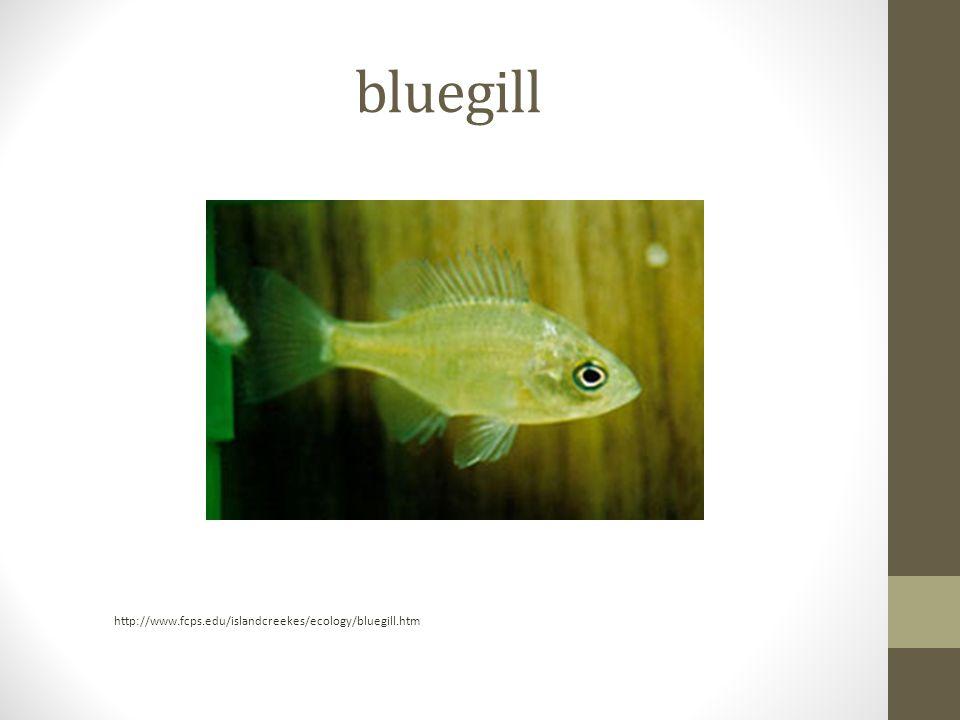 bluegill http://www.fcps.edu/islandcreekes/ecology/bluegill.htm