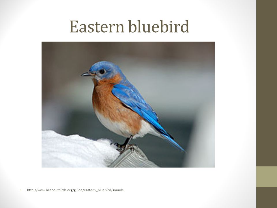 Eastern bluebird http://www.allaboutbirds.org/guide/eastern_bluebird/sounds