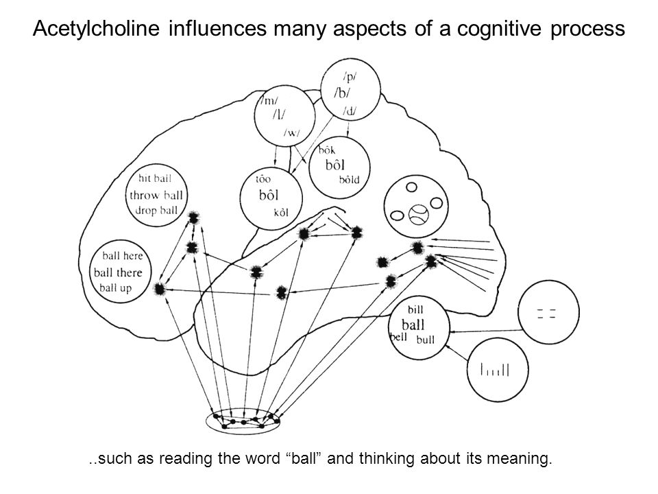 Acetylcholine influences many aspects of a cognitive process..such as reading the word ball and thinking about its meaning.