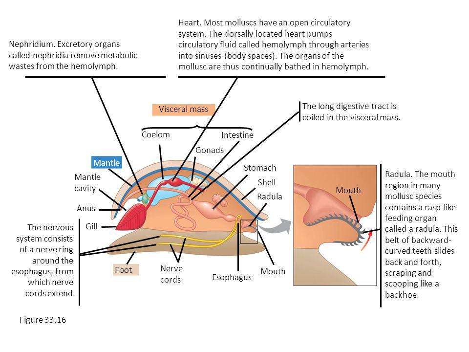 Visceral mass Mantle Foot Coelom Intestine Gonads Mantle cavity Anus Gill Nerve cords Esophagus Stomach Shell Radula Mouth Nephridium.