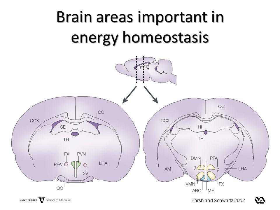 Brain areas important in energy homeostasis Barsh and Schwartz 2002