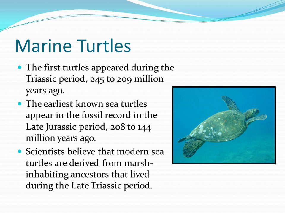 Marine Turtles The first turtles appeared during the Triassic period, 245 to 209 million years ago. The earliest known sea turtles appear in the fossi