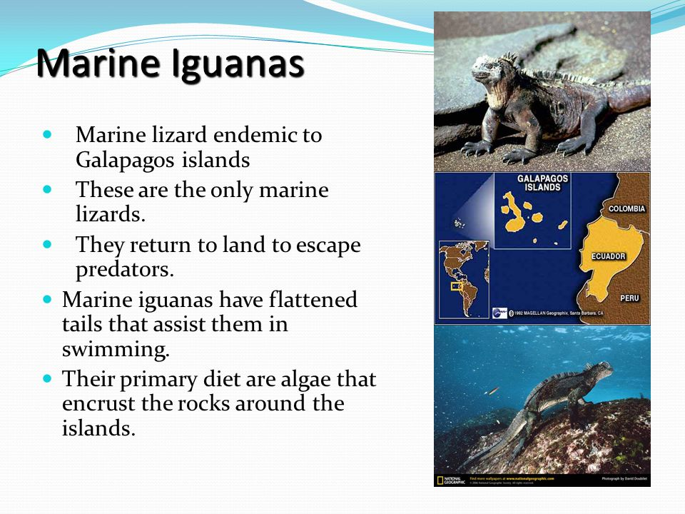 Iguanas dive to feed on the algae and in the process, their bodies undergo substantial cooling.