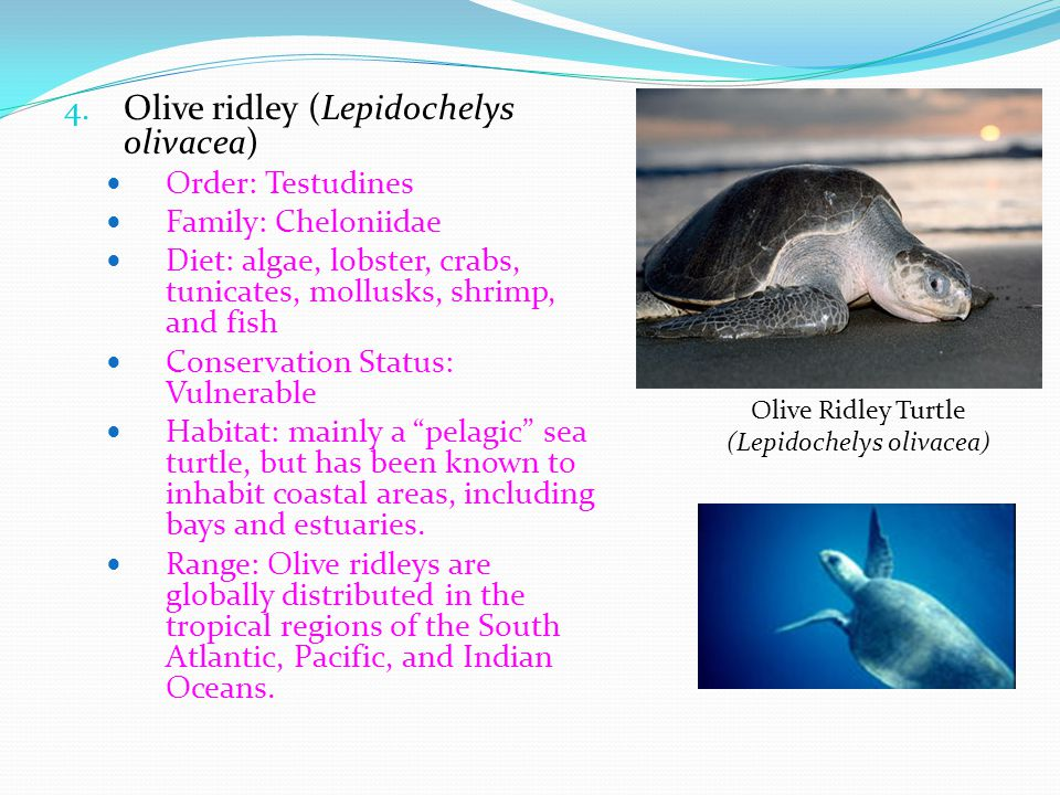 4. Olive ridley (Lepidochelys olivacea) Order: Testudines Family: Cheloniidae Diet: algae, lobster, crabs, tunicates, mollusks, shrimp, and fish Conse