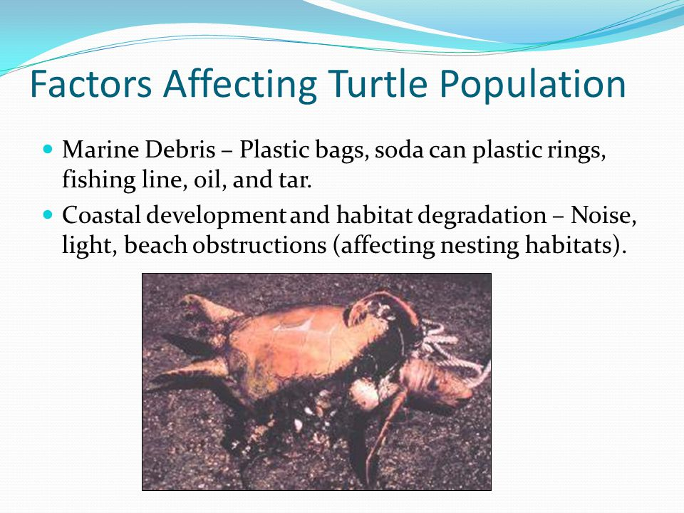 Factors Affecting Turtle Population Marine Debris – Plastic bags, soda can plastic rings, fishing line, oil, and tar. Coastal development and habitat