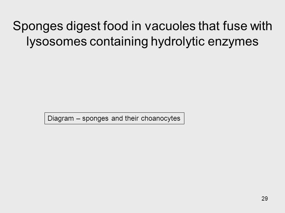 29 Diagram – sponges and their choanocytes Sponges digest food in vacuoles that fuse with lysosomes containing hydrolytic enzymes