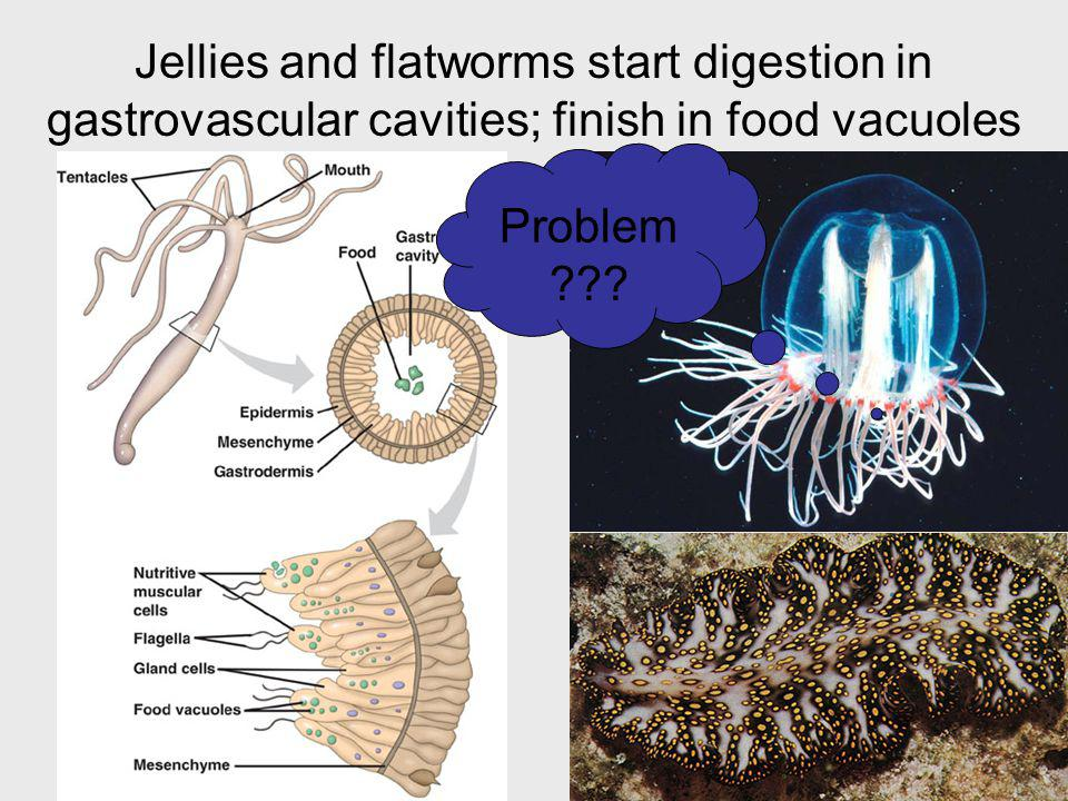 32 Jellies and flatworms start digestion in gastrovascular cavities; finish in food vacuoles Problem ???