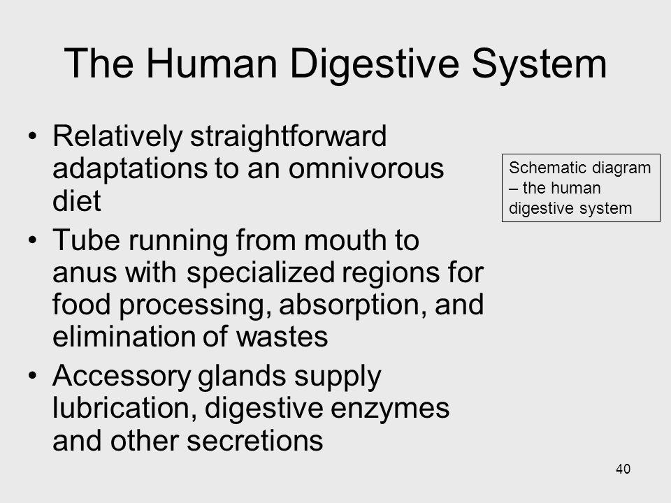40 Schematic diagram – the human digestive system The Human Digestive System Relatively straightforward adaptations to an omnivorous diet Tube running