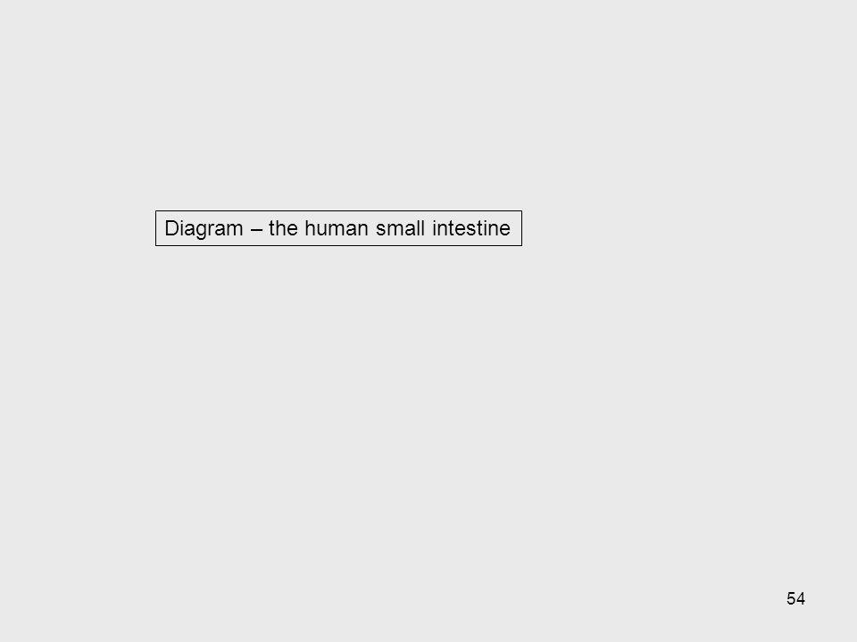 54 Diagram – the human small intestine