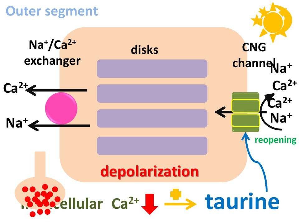CNG channel Na + /Ca 2+ exchanger disks Ca 2+ Na + Ca 2+ Na + taurine depolarization Intracellular Ca 2+ reopening Ca 2+ Na + Outer segment