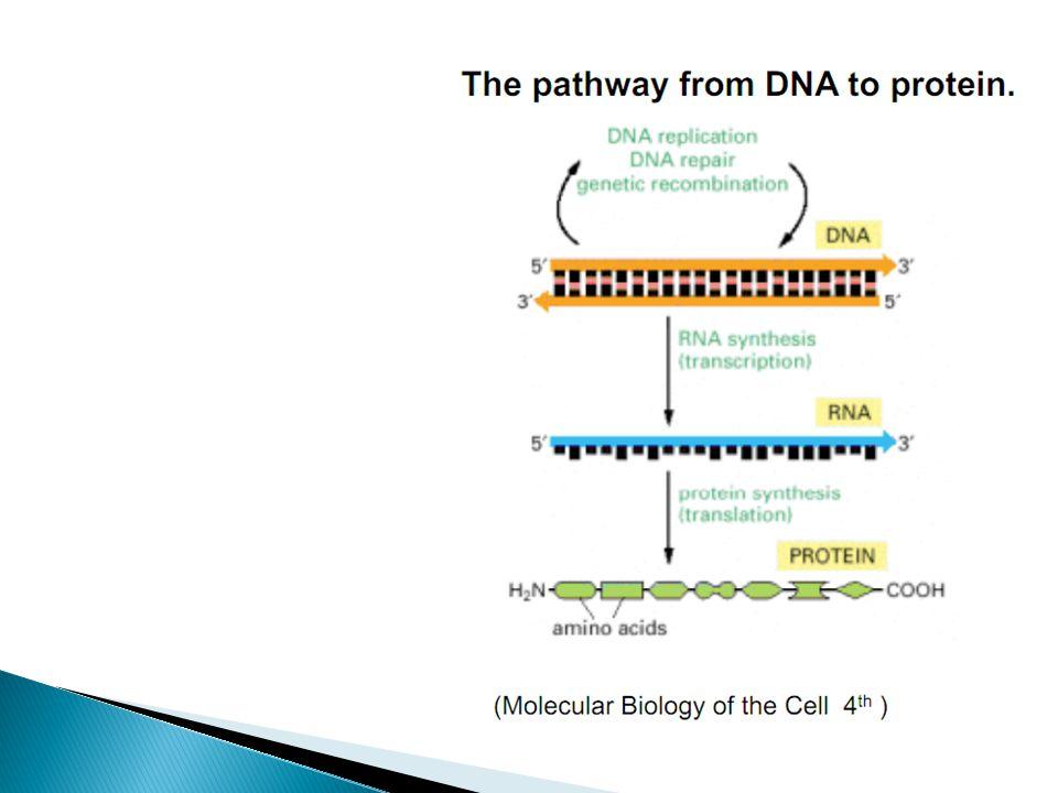 Figure 1.4b Genomes 3 (© Garland Science 2007) RNA