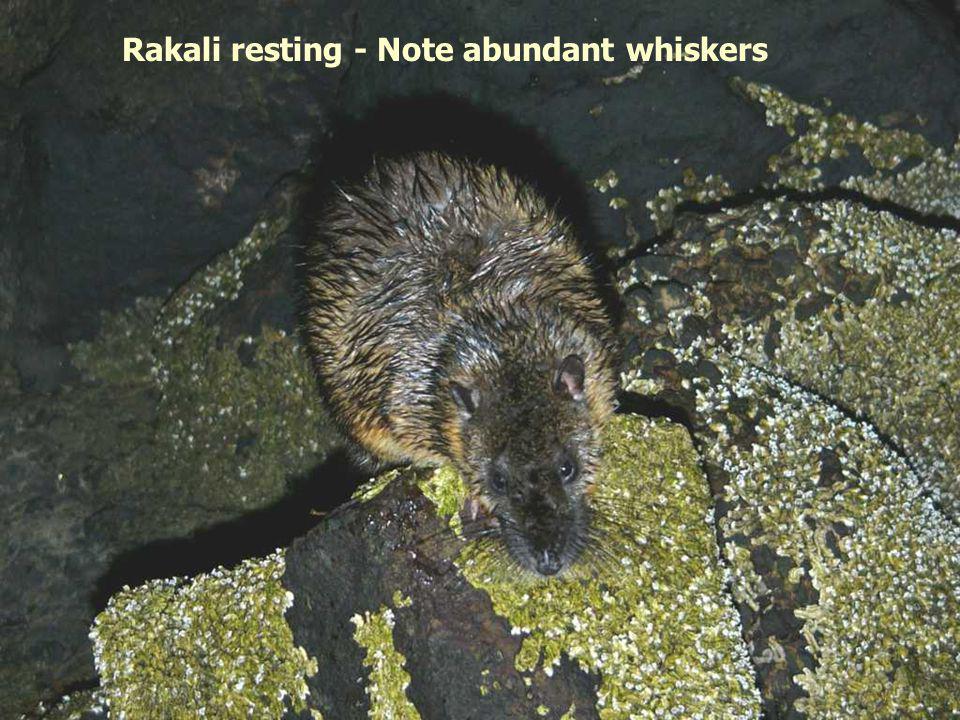 Rakali resting - Note abundant whiskers