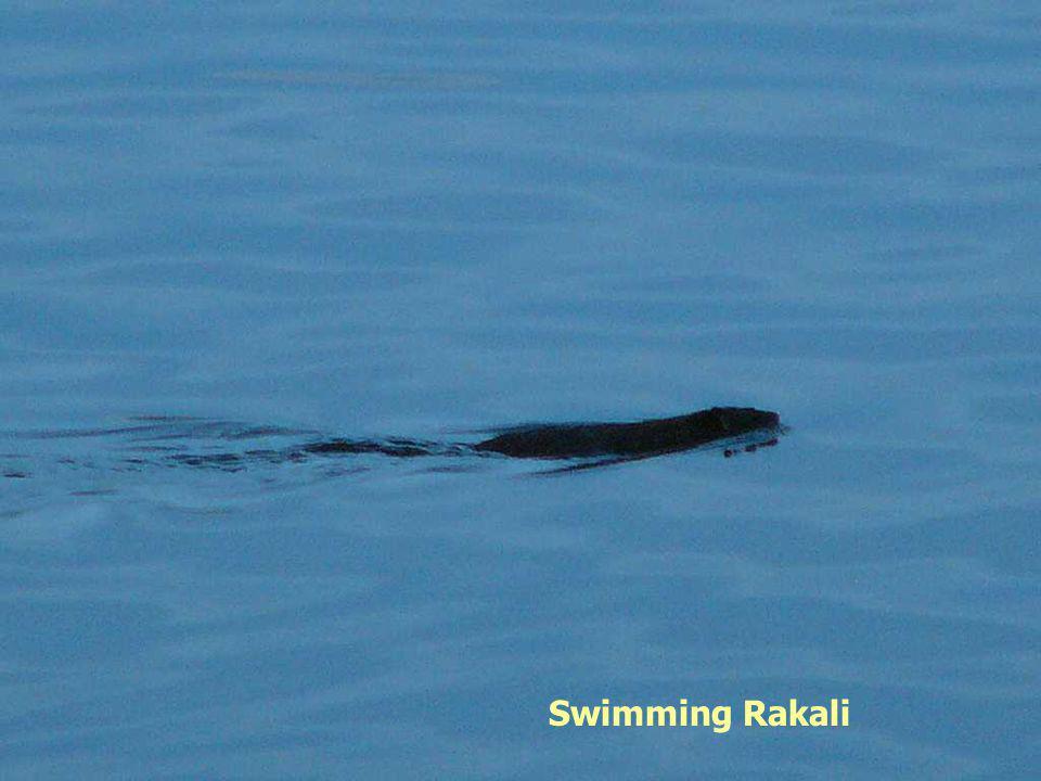 Swimming Rakali