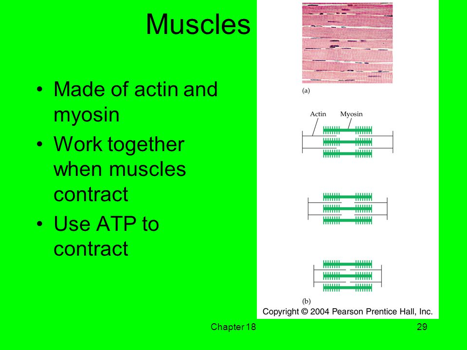 Chapter 1829 Muscles Made of actin and myosin Work together when muscles contract Use ATP to contract