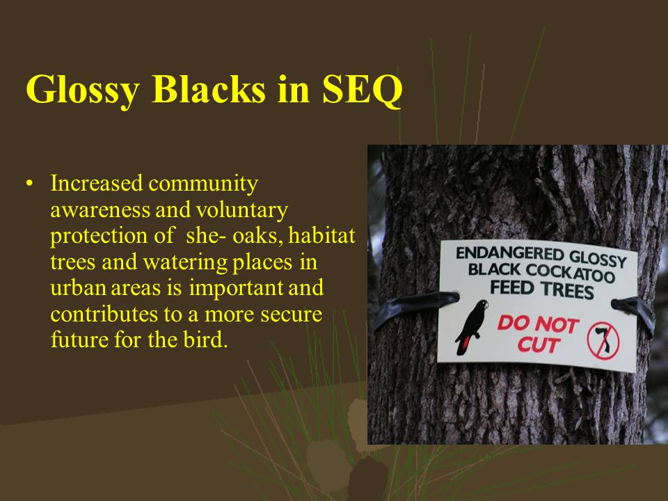 Glossy Blacks in SEQ Increased community awareness and voluntary protection of she- oaks, habitat trees and watering places in urban areas is important and contributes to a more secure future for the bird.