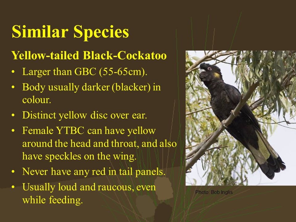 Similar Species Yellow-tailed Black-Cockatoo Larger than GBC (55-65cm).