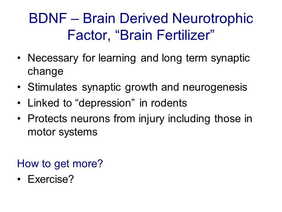 BDNF – Brain Derived Neurotrophic Factor, Brain Fertilizer Necessary for learning and long term synaptic change Stimulates synaptic growth and neurogenesis Linked to depression in rodents Protects neurons from injury including those in motor systems How to get more.