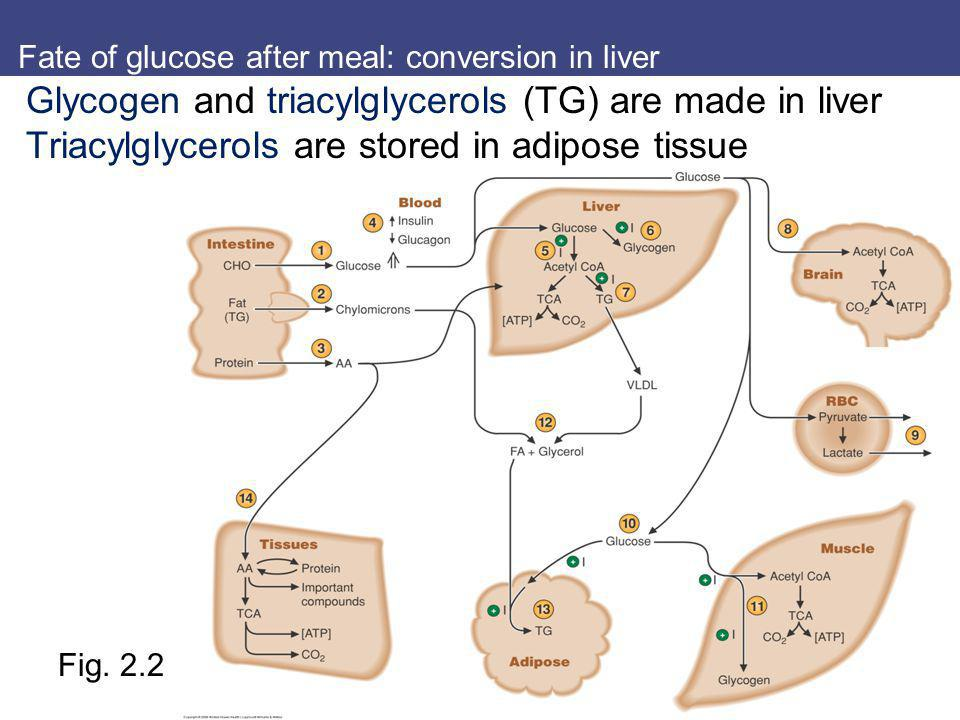 Fate of glucose after meal: conversion in liver Fig. 2.2 Glycogen and triacylglycerols (TG) are made in liver Triacylglycerols are stored in adipose t