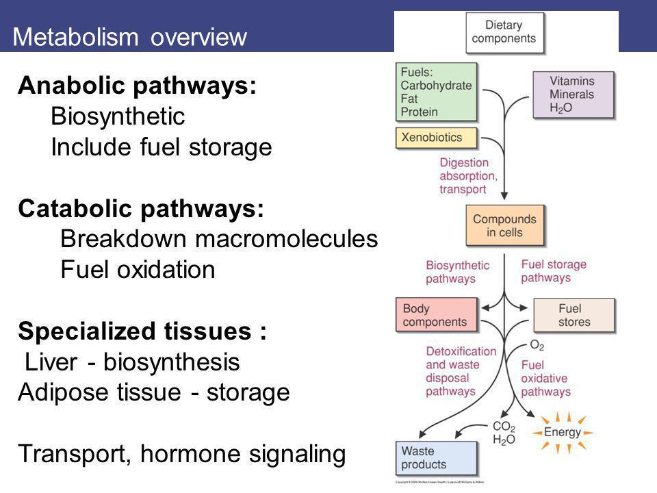 Metabolism overview Anabolic pathways: Biosynthetic Include fuel storage Catabolic pathways: Breakdown macromolecules Fuel oxidation Specialized tissu