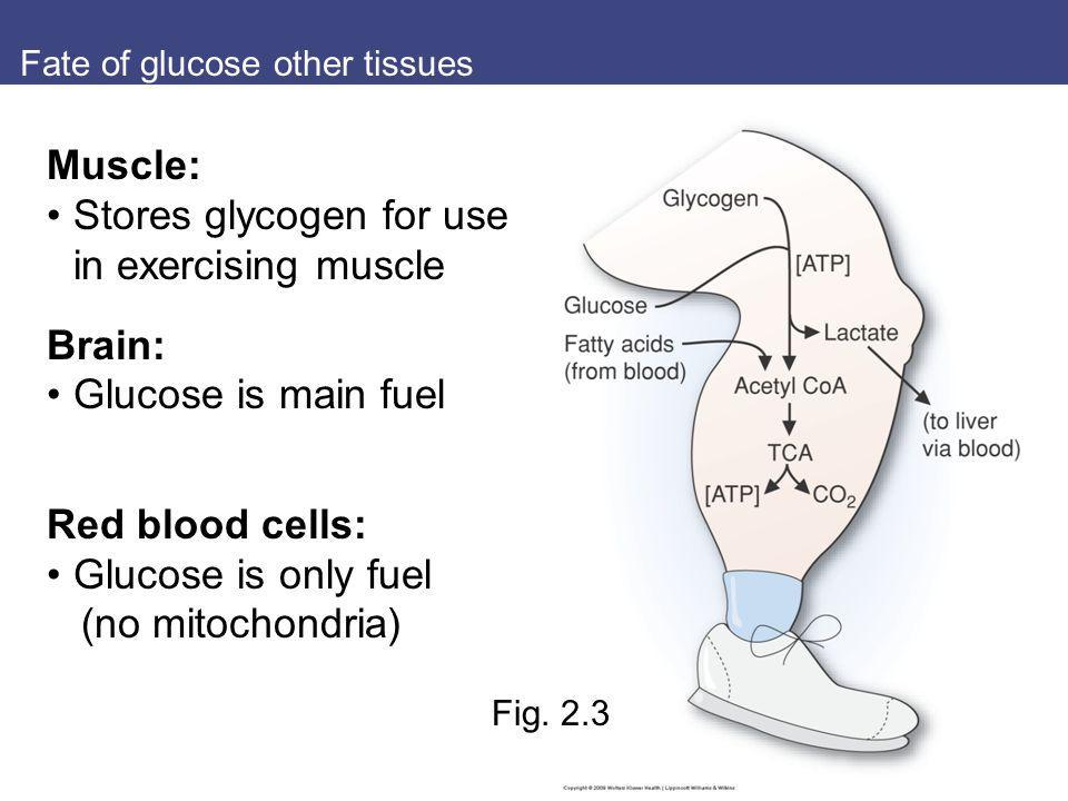 Fate of glucose other tissues Muscle: Stores glycogen for use in exercising muscle Brain: Glucose is main fuel Red blood cells: Glucose is only fuel (