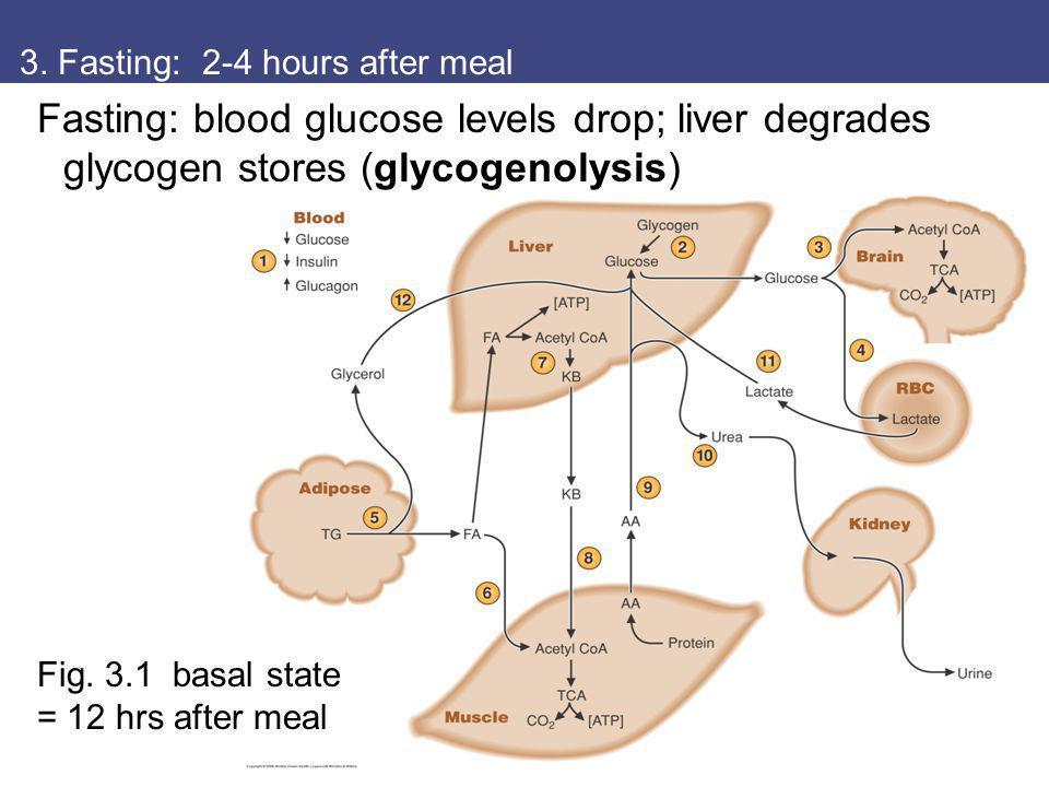 3. Fasting: 2-4 hours after meal Fasting: blood glucose levels drop; liver degrades glycogen stores (glycogenolysis) Fig. 3.1 basal state = 12 hrs aft
