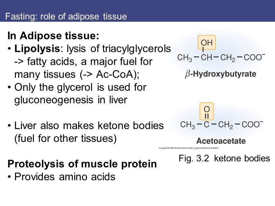 Fasting: role of adipose tissue Fig. 3.2 ketone bodies In Adipose tissue: Lipolysis: lysis of triacylglycerols -> fatty acids, a major fuel for many t
