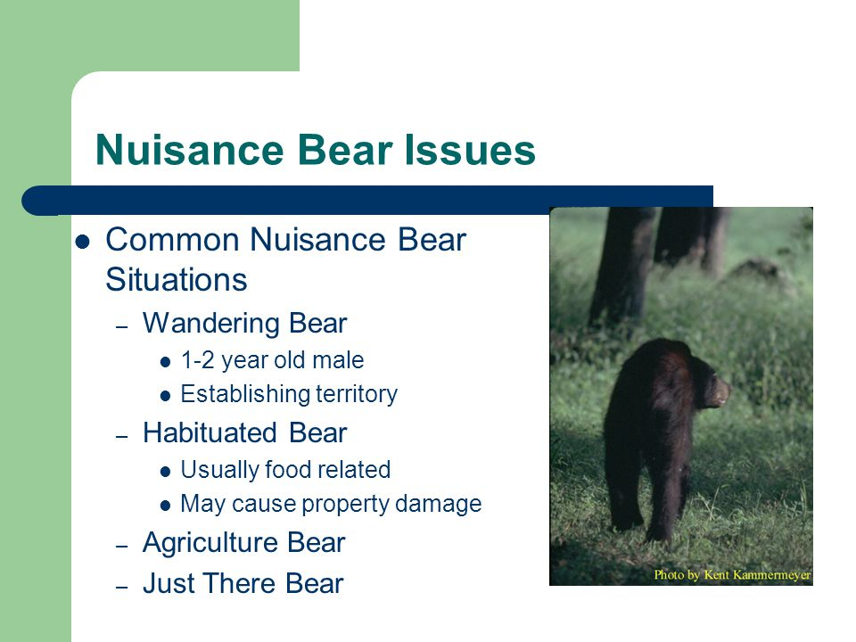 Nuisance Bear Issues Common Nuisance Bear Situations – Wandering Bear 1-2 year old male Establishing territory – Habituated Bear Usually food related May cause property damage – Agriculture Bear – Just There Bear