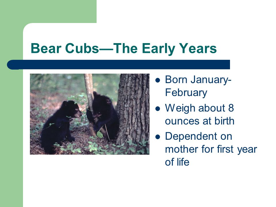 Bear CubsThe Early Years Born January- February Weigh about 8 ounces at birth Dependent on mother for first year of life