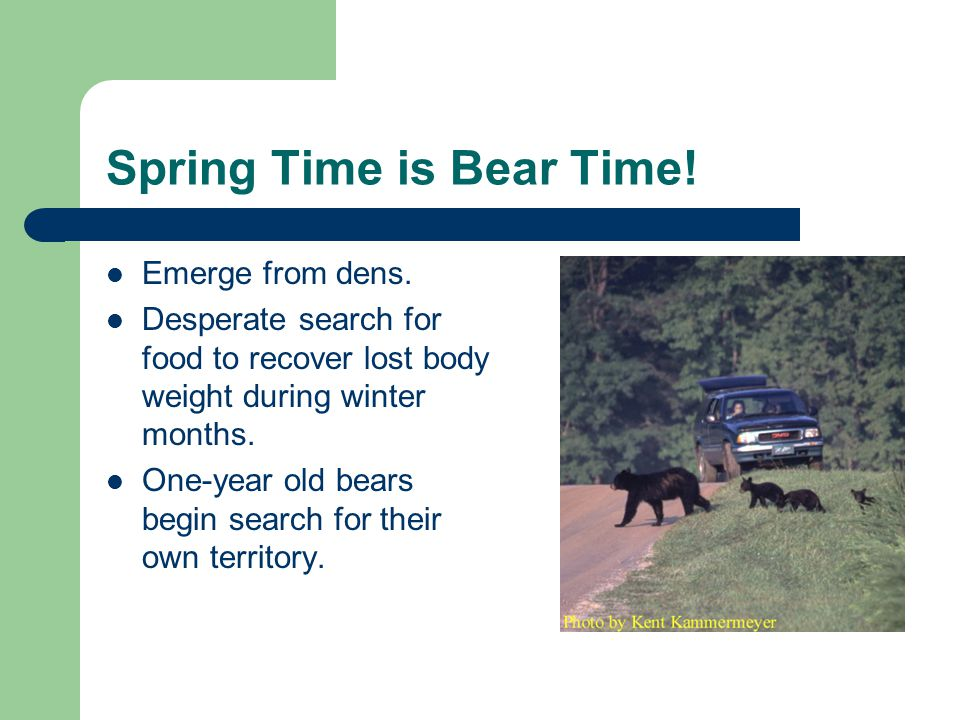 Spring Time is Bear Time. Emerge from dens.