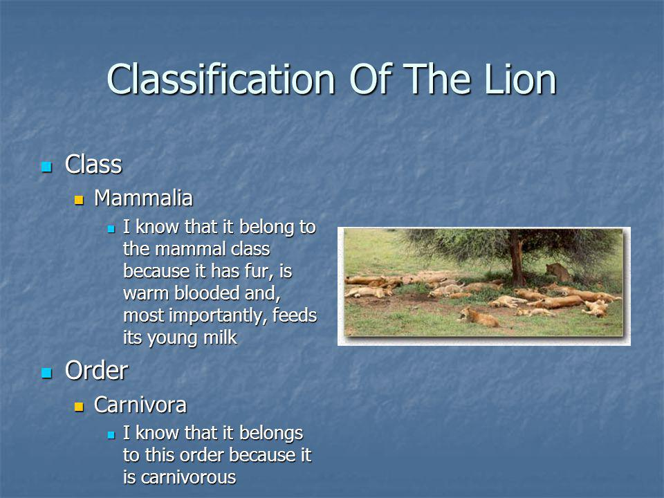 Classification Of The Lion Class Class Mammalia Mammalia I know that it belong to the mammal class because it has fur, is warm blooded and, most importantly, feeds its young milk I know that it belong to the mammal class because it has fur, is warm blooded and, most importantly, feeds its young milk Order Order Carnivora Carnivora I know that it belongs to this order because it is carnivorous I know that it belongs to this order because it is carnivorous