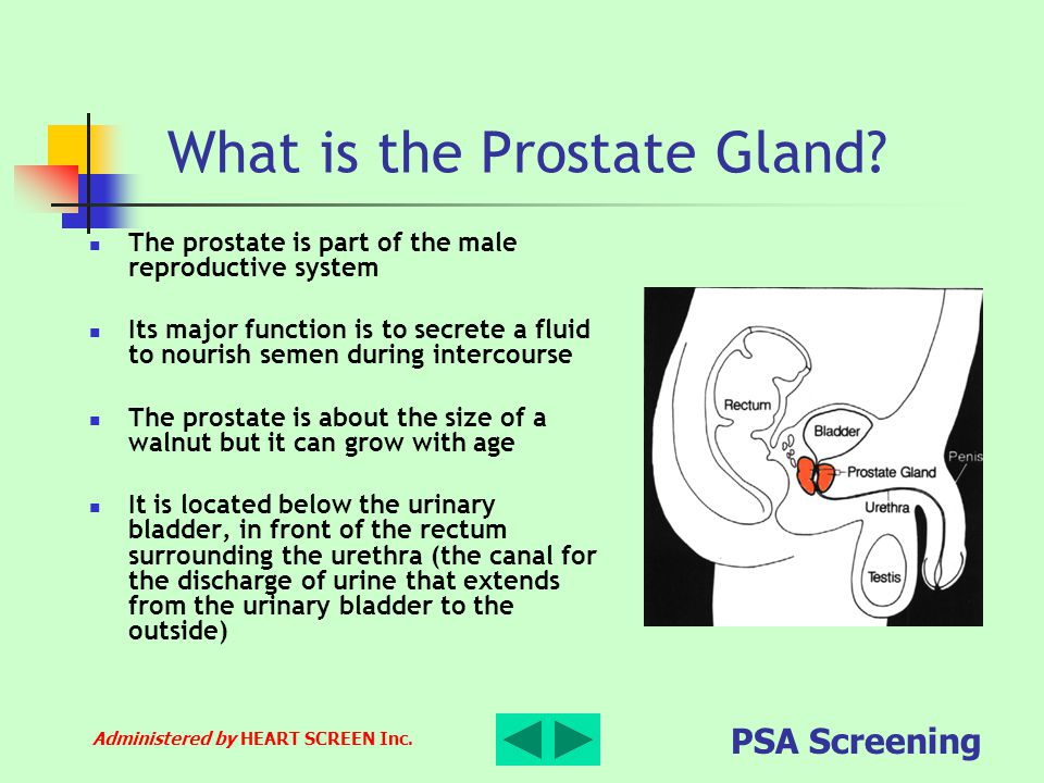 Administered by HEART SCREEN Inc. PSA Screening What is the Prostate Gland? The prostate is part of the male reproductive system Its major function is
