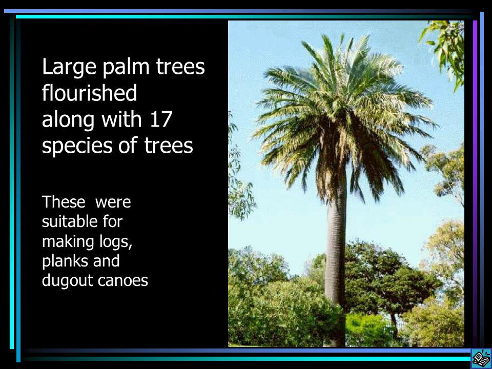 Large palm trees flourished along with 17 species of trees These were suitable for making logs, planks and dugout canoes