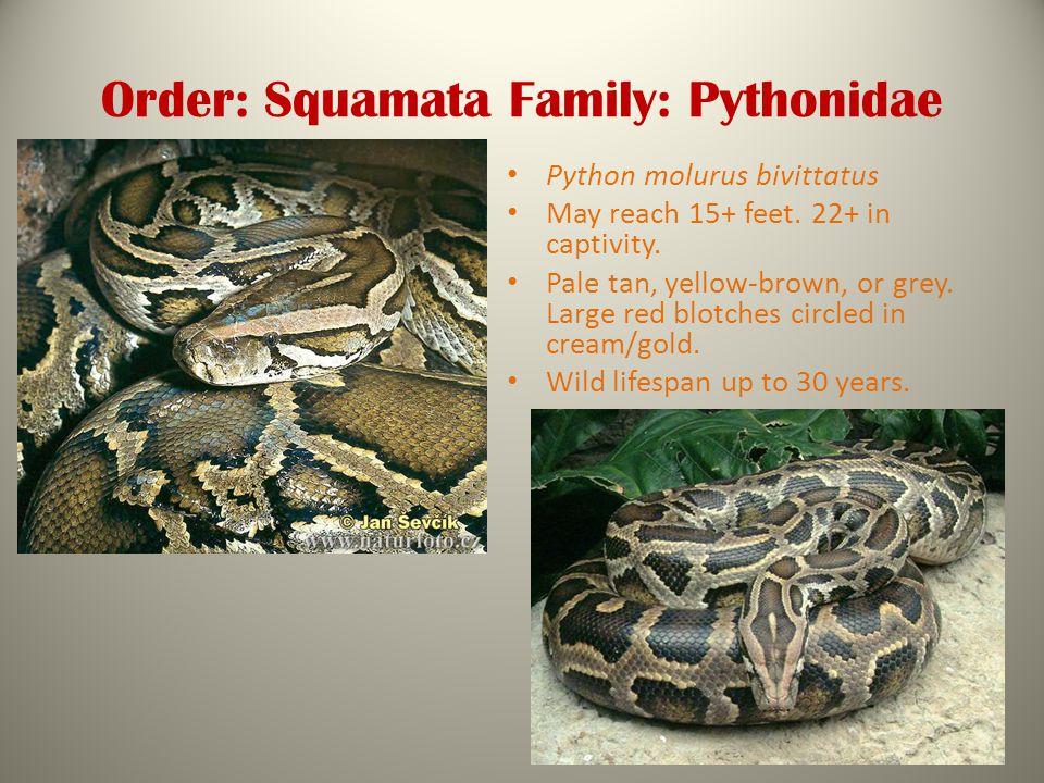 Order: Squamata Family: Pythonidae Python molurus bivittatus May reach 15+ feet.