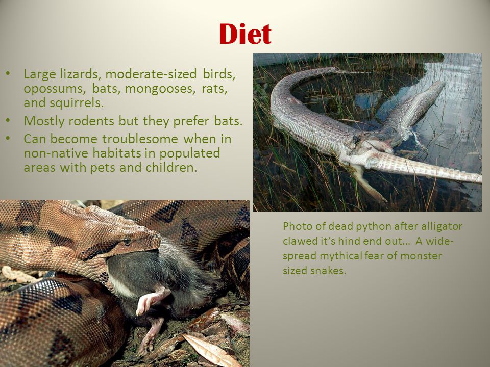 Diet Large lizards, moderate-sized birds, opossums, bats, mongooses, rats, and squirrels.