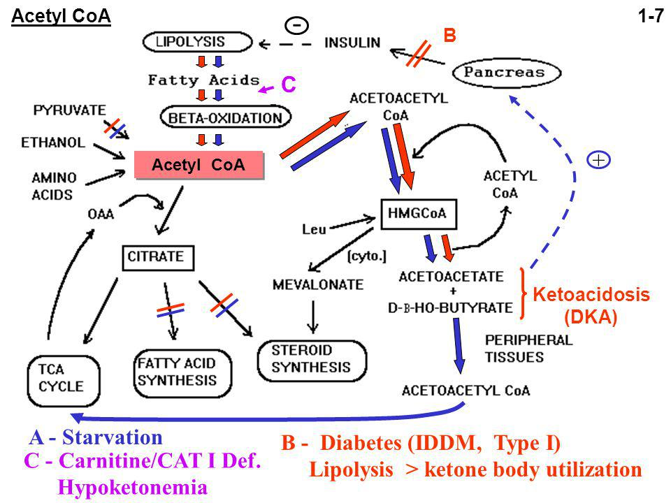 B - Diabetes (IDDM, Type I) Lipolysis > ketone body utilization A - Starvation C - Carnitine/CAT I Def.