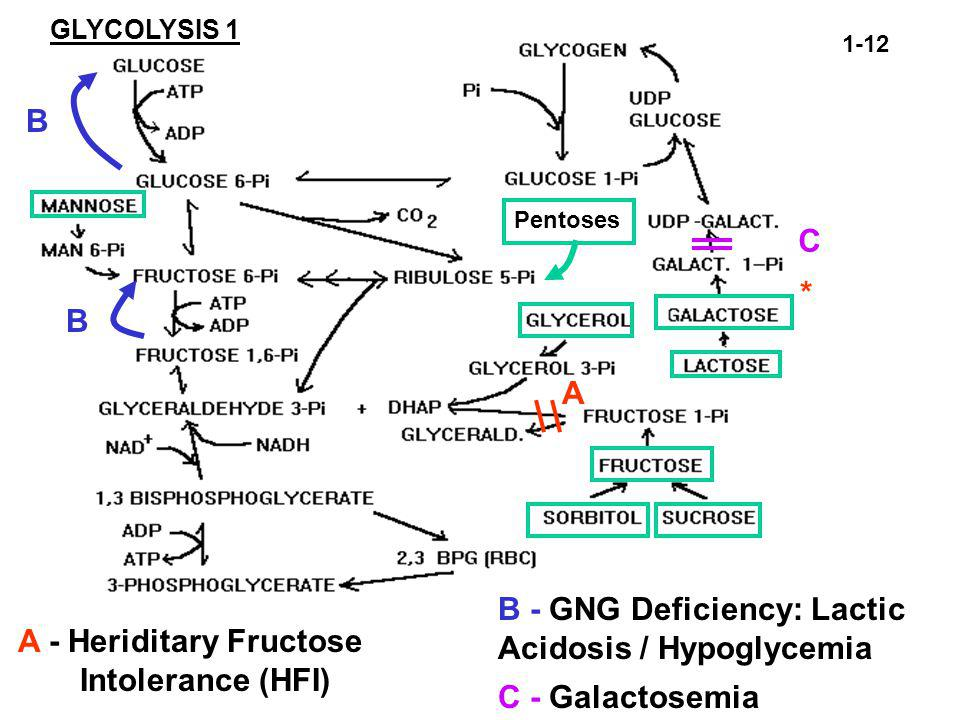 A - Heriditary Fructose Intolerance (HFI) B - GNG Deficiency: Lactic Acidosis / Hypoglycemia C - Galactosemia GLYCOLYSIS 1 A B B C 1-12 Pentoses *
