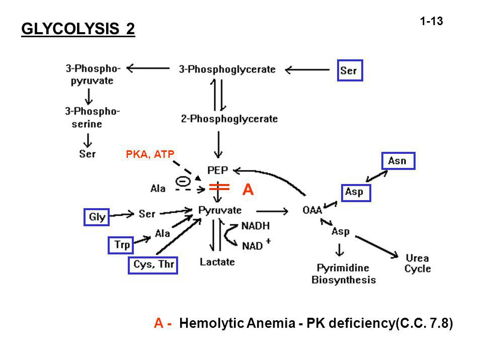 A A - Hemolytic Anemia - PK deficiency(C.C. 7.8) 1-13 GLYCOLYSIS 2 PKA, ATP