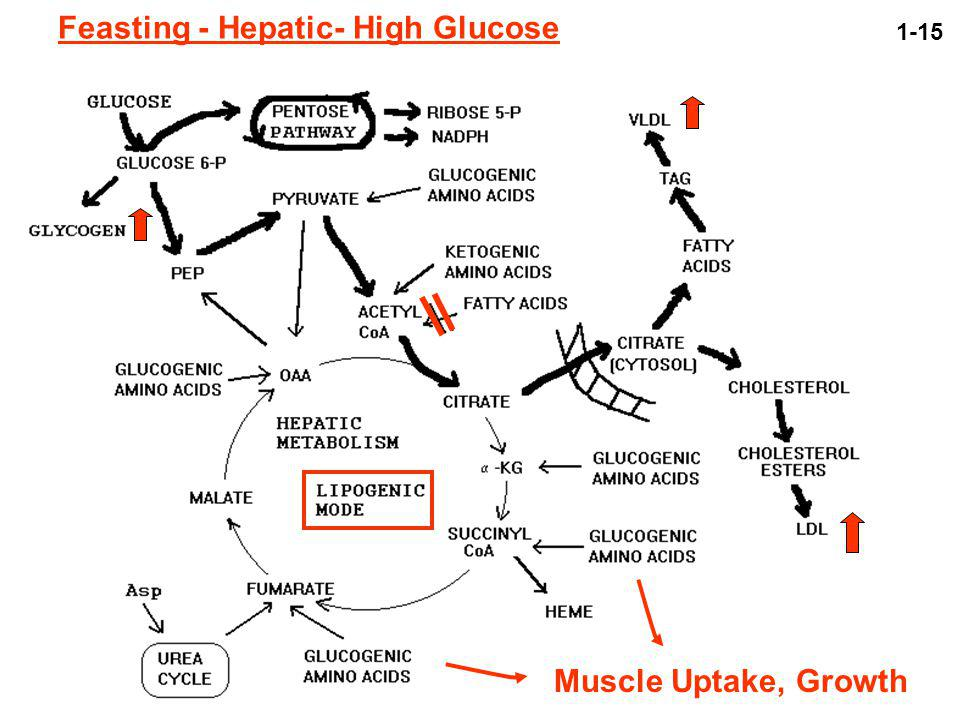 Feasting - Hepatic- High Glucose Muscle Uptake, Growth 1-15