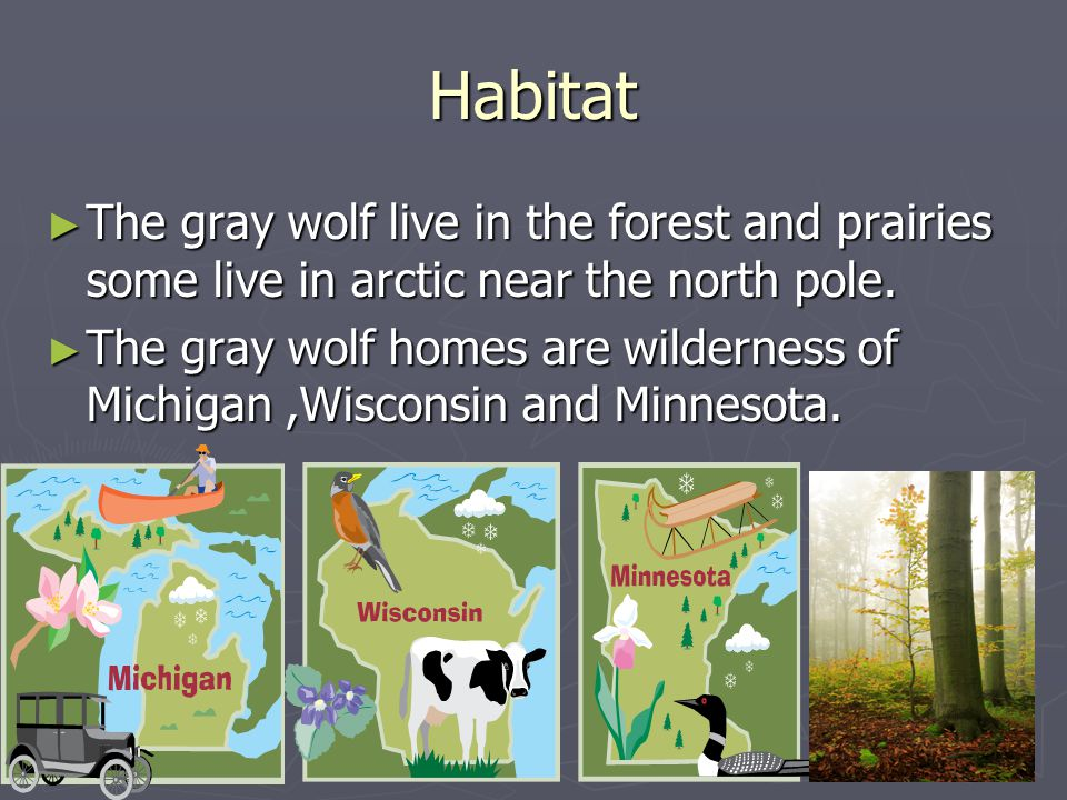 Habitat The gray wolf live in the forest and prairies some live in arctic near the north pole.