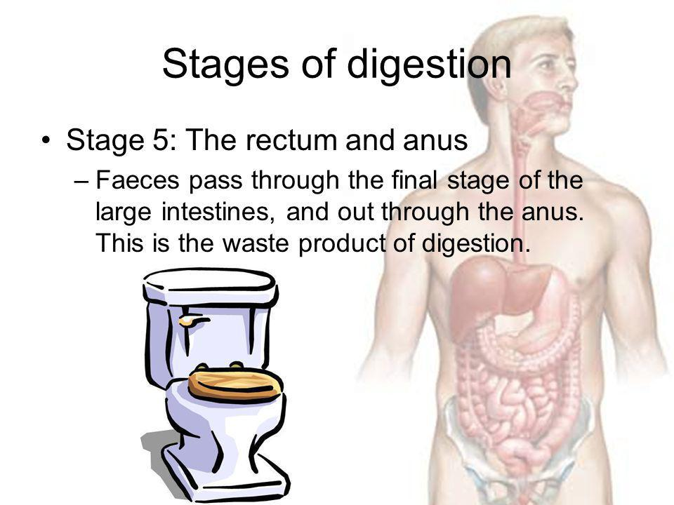 Stages of digestion Stage 5: The rectum and anus –Faeces pass through the final stage of the large intestines, and out through the anus. This is the w