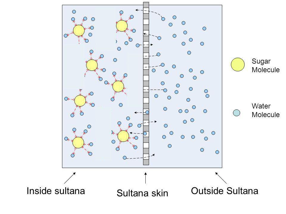 Sultana skin Inside sultanaOutside Sultana Sugar Molecule Water Molecule