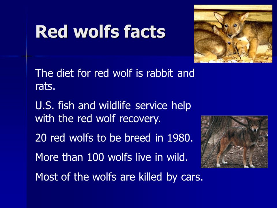 Red wolfs facts The diet for red wolf is rabbit and rats. U.S. fish and wildlife service help with the red wolf recovery. 20 red wolfs to be breed in