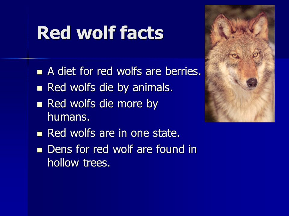 Red wolf facts A diet for red wolfs are berries. A diet for red wolfs are berries.
